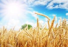 Orelhas do trigo sob o sol Fotos de Stock
