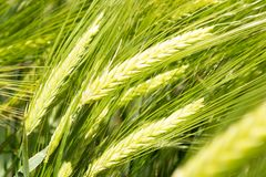 Orelhas do trigo verde fotos de stock