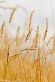 Orelhas douradas #1 Fotos de Stock