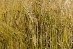 Orelhas douradas da grão madura no campo Imagem de Stock Royalty Free