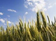 Orelhas douradas do trigo Imagens de Stock