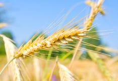 Orelhas douradas do trigo Imagem de Stock