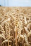 Orelhas douradas do trigo Imagem de Stock Royalty Free