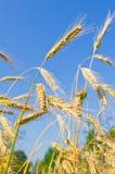 Orelhas douradas do trigo de encontro ao céu azul Fotografia de Stock