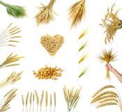 Orelhas douradas do trigo isoladas no fundo branco Fotos de Stock