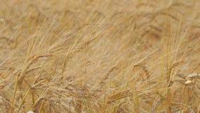 Orelhas douradas do trigo maduro vídeos de arquivo