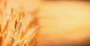 Orelhas douradas do trigo, natureza exterior, campo de cereal, lugar para o texto Exploração agrícola da agricultura fotografia de stock