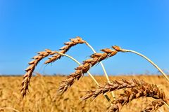 Orelhas douradas do trigo no fundo do céu azul Campo de trigo fotos de stock