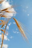 Orelhas douradas do trigo sob o céu imagens de stock
