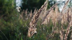 Orelhas douradas que balançam no vento do verão video estoque
