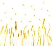 Orelhas e grões do trigo imagem de stock