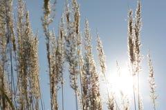Orelhas e grama no sol Imagens de Stock Royalty Free
