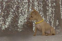 Orelhas grandes do cachorrinho minúsculo bonito da chihuahua Foto de Stock Royalty Free