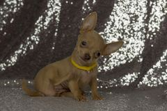 Orelhas grandes do cachorrinho minúsculo bonito da chihuahua Fotografia de Stock Royalty Free