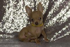 Orelhas grandes do cachorrinho minúsculo bonito da chihuahua Imagem de Stock