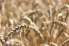 Orelhas grandes maduras do trigo no verão do campo Fotos de Stock Royalty Free