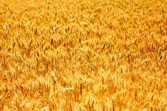 Orelhas maduras do campo do trigo Foto de Stock