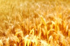 Orelhas maduras do campo do trigo Fotos de Stock