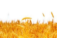 Orelhas maduras do campo do trigo Imagens de Stock