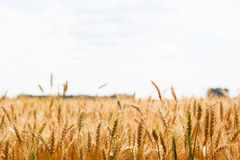Orelhas maduras do campo do trigo Fotografia de Stock Royalty Free