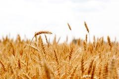 Orelhas maduras do campo do trigo Imagem de Stock