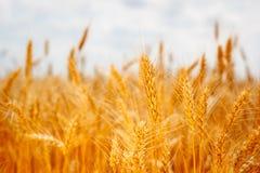 Orelhas maduras do campo do trigo Imagens de Stock Royalty Free