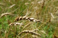 Orelhas maduras do centeio no campo imagens de stock