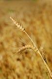 Orelhas maduras do trigo no campo Fotos de Stock Royalty Free