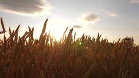 Orelhas maduras do trigo no campo Céu bonito com as nuvens no campo sobre um campo de trigo colheita madura do cereal contra video estoque
