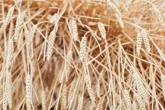 Orelhas maduras douradas orgânicas de imagens de stock royalty free