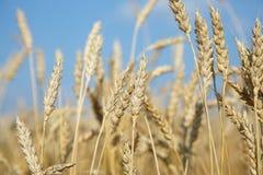 Orelhas maduras douradas orgânicas do trigo no campo Imagens de Stock