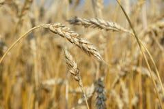 Orelhas maduras douradas orgânicas do trigo no campo Fotografia de Stock