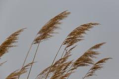 Orelhas naturais do junco no vento Imagem de Stock Royalty Free