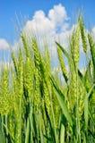 Orelhas novas do trigo contra o céu azul Plantas agrícolas na maturidade e na colheita fotos de stock royalty free