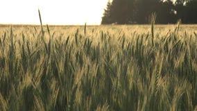 Orelhas ou cereais do trigo video estoque