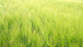 Orelhas verdes do close-up do trigo filme