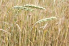 Orelhas verdes do trigo. Fotografia de Stock Royalty Free