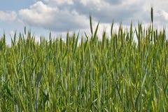 Orelhas verdes do trigo Fotos de Stock Royalty Free