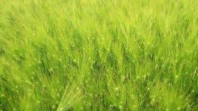 Orelhas verdes do trigo filme