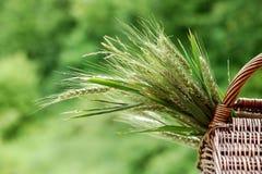 Orelhas verdes do trigo em uma cesta tecida fora Foto de Stock
