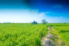 Orelhas verdes do trigo em uma explora??o agr?cola fotografia de stock royalty free