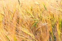 Orelhas verdes do trigo no campo amarelo do russo imagens de stock royalty free
