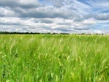 Orelhas verdes do trigo no campo e em um céu azul com nuvens foto de stock royalty free