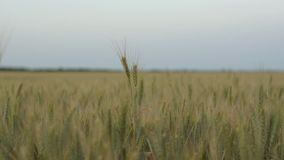 Orelhas verdes do trigo que balançam no campo, contra o contexto do céu da noite vídeos de arquivo