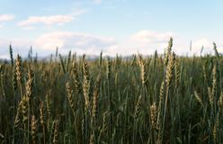 Orelhas verdes no campo! Imagens de Stock