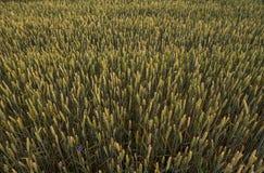 Orelhas verdes novas do trigo em um campo bonito Trigo de amadurecimento das orelhas agricultura Produto natural Fotos de Stock