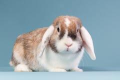 Orelhudos brancos mini-podam o coelho no estúdio fotos de stock