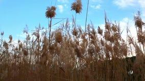 Oren die van tarwe in de wind bij zonsondergang slingeren stock footage