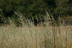 Oren in platteland door de wind wordt bewogen die Royalty-vrije Stock Foto