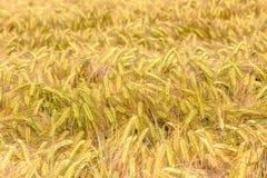oren van cornfield van de gerstclose-up Achtergrond royalty-vrije stock foto